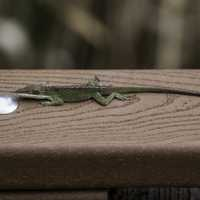 An Anole Lizard on the boardwalk