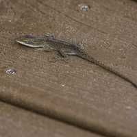 Brown Anole on the Boardwalk