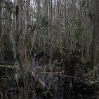 Swamp and Marsh Trees in Okefenokee National Wildlife Refuge