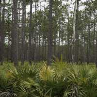 Trees and pines at Okefenokee National Wildlife Refuge