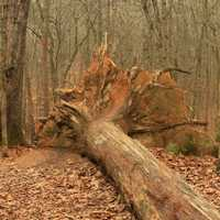 Uprooted Tree on Trail at Redtop Mountain State Park, Georgia
