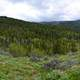 Panoramic of the forest in Caribou-Targhee National Forest
