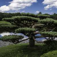 Trees in the Japanese Gardens