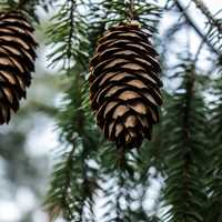 Pine Cones in Yellow River State Forest, Iowa