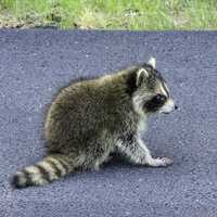 Raccoon on road at Acadia National Park, Maine