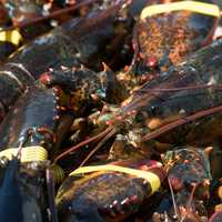 Large Maine Lobsters