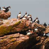 Puffins on a cliff in Maine
