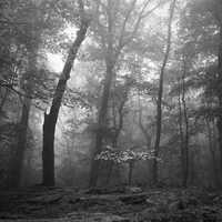 Misty forest with Dogwood Tree