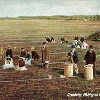Cranberry Picking around Cape Cod in 1906