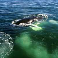 Humpback Whale in Cape Cod, Massachusetts
