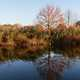 Fall reflections of tree and cat tails