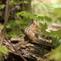 Chipmunk in the forest at Porcupine Mountains State Park, Michigan