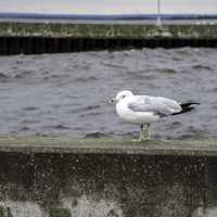 Seagull on the pier wall in Duluth, Minnesota