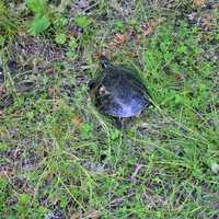 A turtle at lake Itasca state park, Minnesota