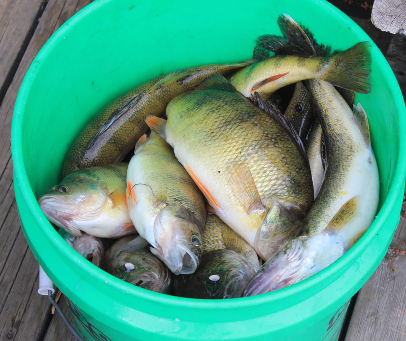 A bucket full of different sized Yellow Perch sitting on a wooden dock.