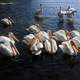 Pelicans in the Bay at Voyaguers National Park, Minnesota