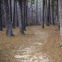 Path into the pine trees at Hawn State Park, Missouri