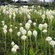 Beargrass blooming in Glacier National Park, Montana