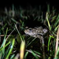 Boreal Toad hiding at night