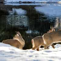 Deer at McDonald Creek