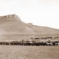 Cattle roundup near Great Falls in Montana in 1890s