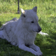 White Wolf sitting in the shade