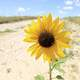 A big Sunflower at Panorama Point, Nebraska