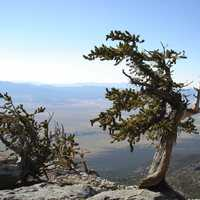 Old Pine Tree at Great Basin National Park, Nevada