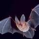 Townsend's big-eared bat - Corynorhinus townsendii at Great Basin National Park