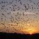 Mexican free-tailed bats coming out of Entrance at Carlsbad Caverns National Park, New Mexico
