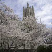 Blossoming Tree around Duke Chapel in Durham, North Carolina