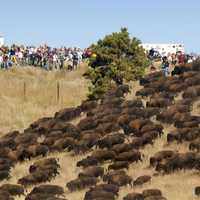 Large Herd of Buffalo down a hill