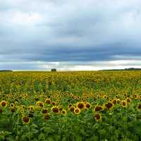 Sunflower field landscape under the cloudy skies