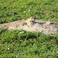 Prairie dog coming out of hole at Theodore Roosevelt National Park, North Dakota