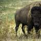 Bison, Oklahoma's State Animal