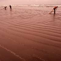 People harvesting razor clams on the beach in Seaside, Oregon, 1972