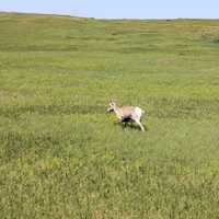 Goat on the Prairie at Badlands National Park, South Dakota