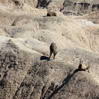 Mountain Goat on mountains at Badlands National Park, South Dakota