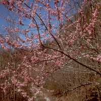 Pink Flowers in spring at Big South Fork, Tennessee