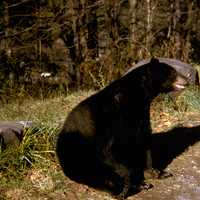 Black Bear in Great Smoky Mountains National Park, Tennessee
