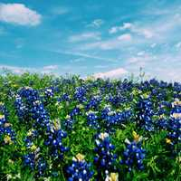 Blue Flower Field in Austin, Texas