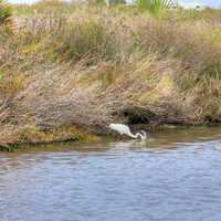 Egret fishing for prey at Galveston Island State Park, Texas