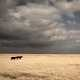 Two cows under the clouds on the plains