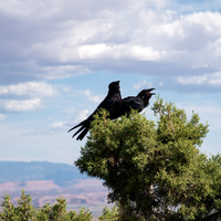Two Crows on the Pine Trees