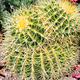 Yellow spines on ball Cactus