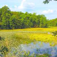 Marsh Landscape with yellow pond flowers