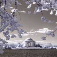 Infared photo of Cherry blossoms near the Tidal Basin
