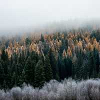 Foggy Morning in the Pine Forest