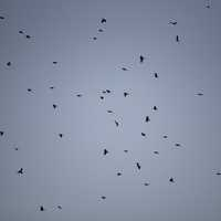 Flock of red-wing blackbirds