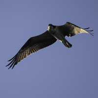 Osprey soaring in the air
